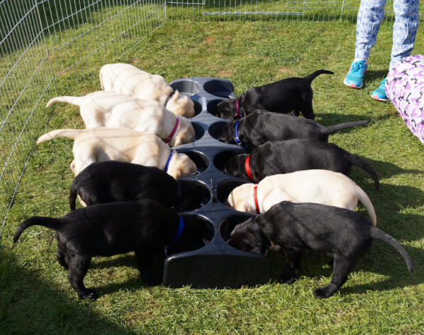 Ten puppies, 4 white and 6 black with their heads down eating from a food trough