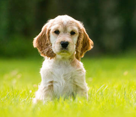 sponsor a hearing dog puppy