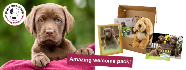 Chocolate Labrador sponsor puppy Elton on the left, along with a display of the hearing dogs sponsor pack on the right. The pack has a stuffed toy dog in a cardboard box along with several photos of the puppy arranged outside.