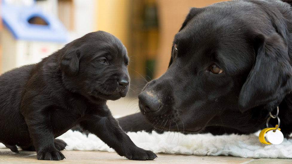 new born puppies labrador