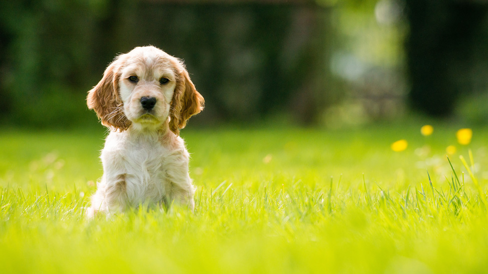 Hearing dog puppy Hebe