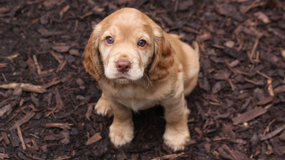 The First Eight Weeks Of A Hearing Dog Puppy S Life