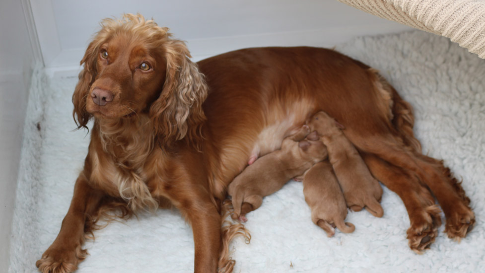 cocker spaniel and newborn pups