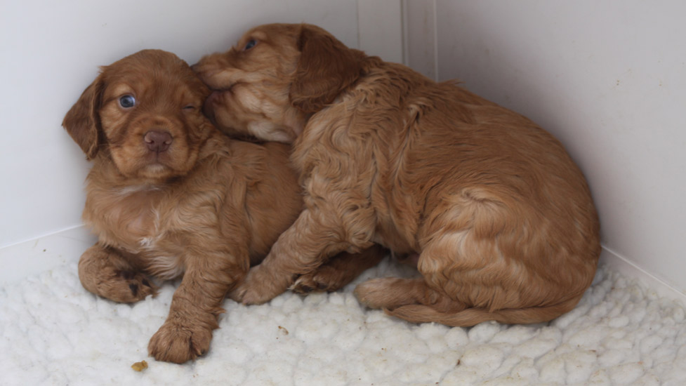 four week old puppies playing