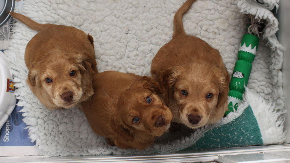 cocker spaniel puppies 6 weeks