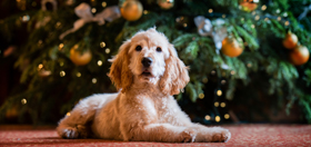 Dogs safe at christmas