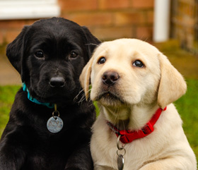 labradorable pups