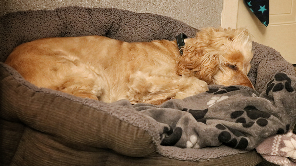 Hearing dog Albert dreaming of tomorrow's adventures