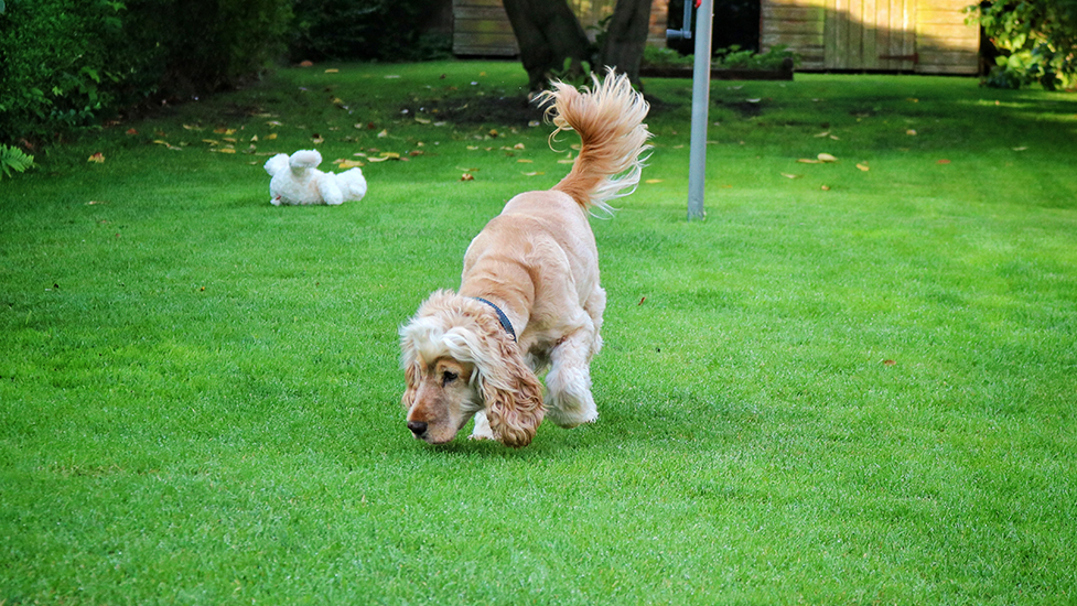 Hearing dog Albert plays in the garden