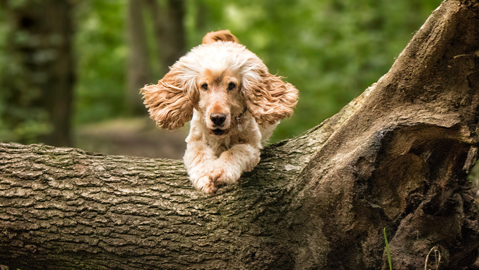 Hearing dog Albert having fun and jumping over a log