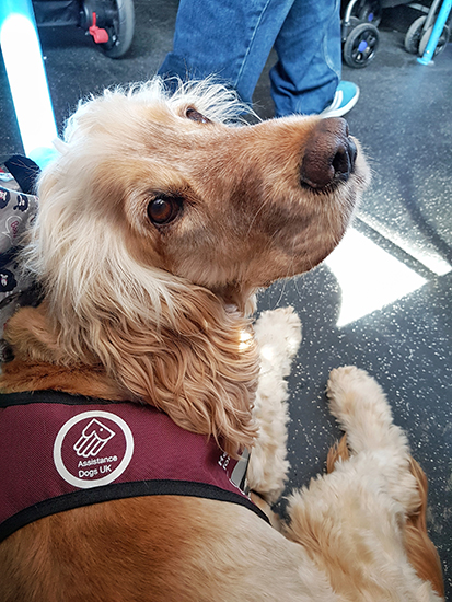 Hearing dog Albert on a bus with his deaf partner