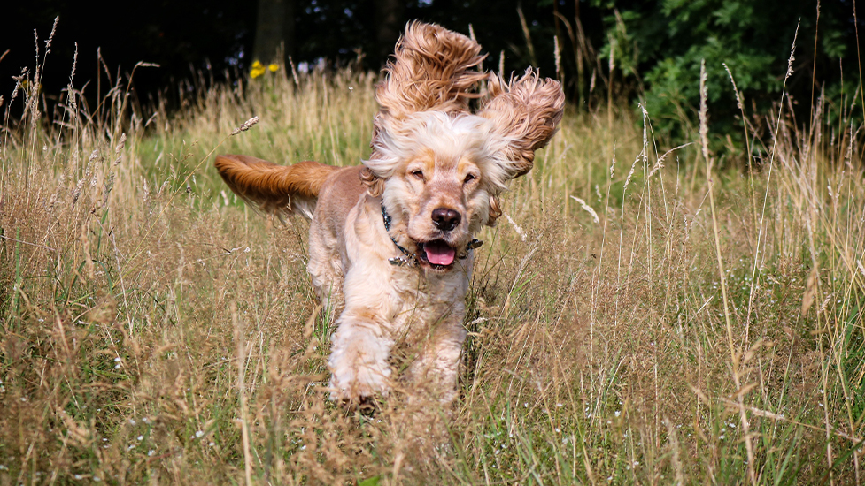 Hearing dog Albert playing in the long grass