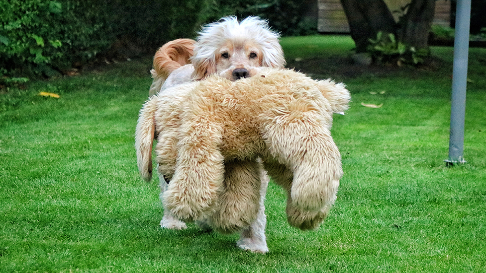 Hearing dog Albert playing with his favourite cuddly toy