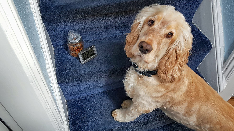 Hearing dog Albert is ready to alert his deaf partner to a timer