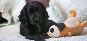 Cocker spaniel puppy Komet with his cuddly toy