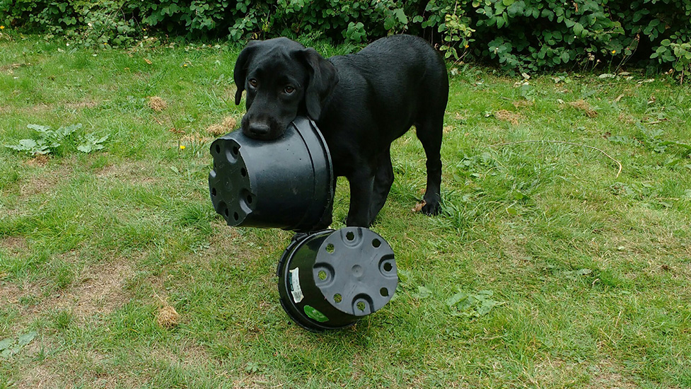 Black Labs love to help out in the garden