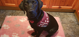 black lab hearing dog puppy