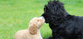 Hearing dog puppies cocker spaniels