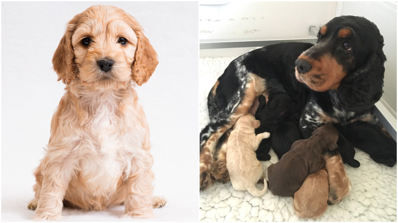 Two photos side by side, the first is a close up of cockapoo puppy Daisy and the second is mum Daisy feeding her puppies