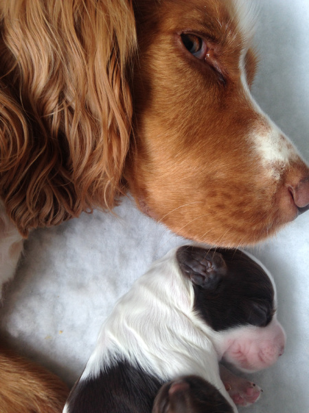 Cocker spaniel puppy Riley with mum Jasmine