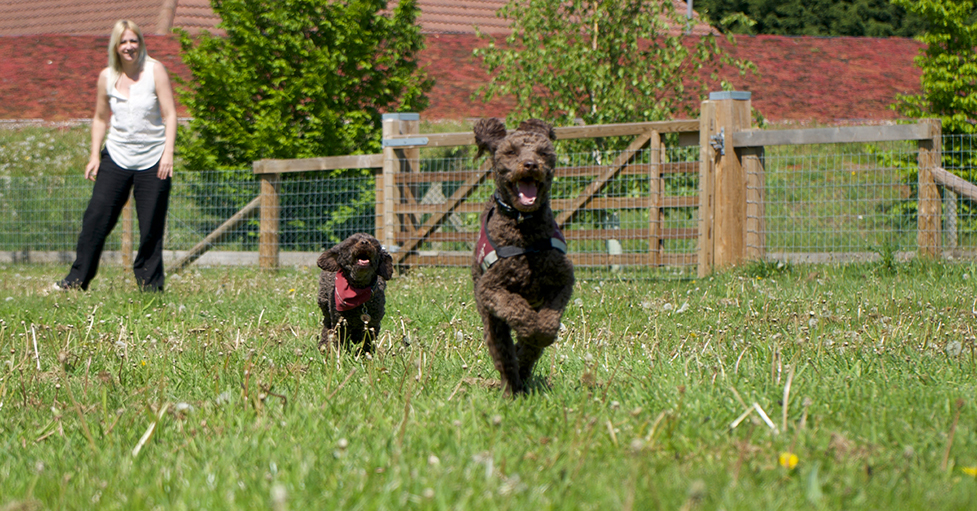 Miniature poodle Ziggy in front of his mum Teaka as they are running through a field