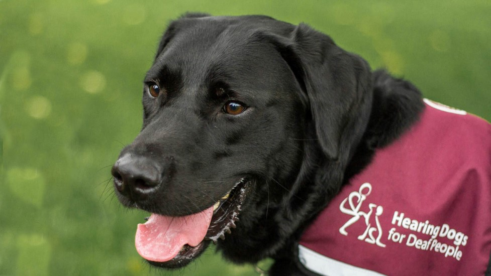 How To Get A Hearing Dog Uk