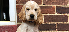 Hearing dog cocker spaniel puppy River