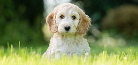 Cockapoo puppy Hope sitting on the grass