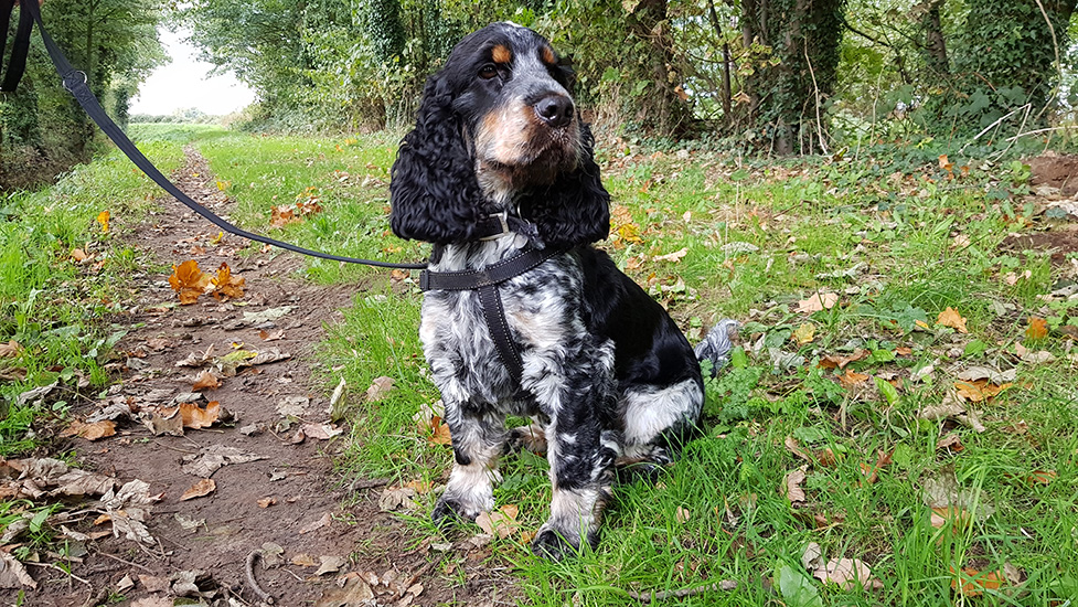 Hearing dog puppy Axel on a walk in the countryside