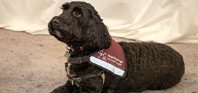 Cockapoo hearing dog Pickle