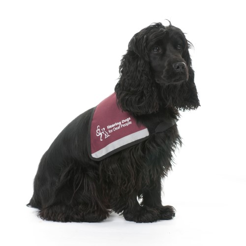 Hearing dog Biscuit