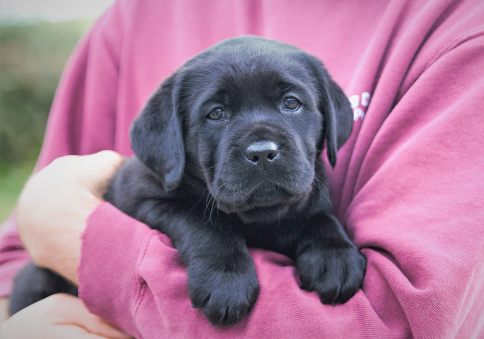 Black Labrador puppy Robyn loves a cuddle