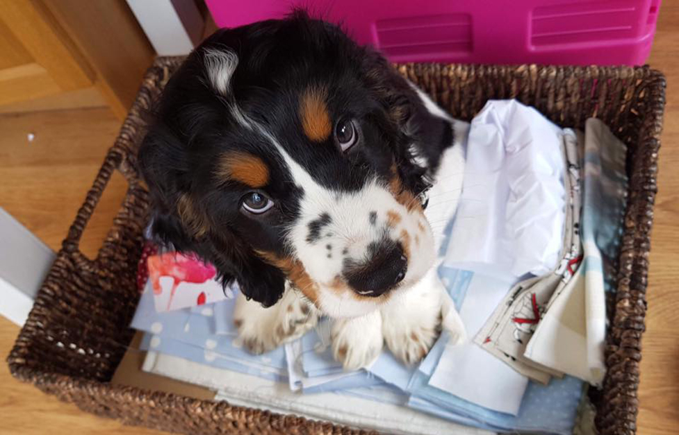 Cocker spaniel puppy Wilbur