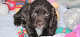 Hearing dog puppy cocker spaniel Rico