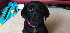 puppy training hearing dogs for deaf people