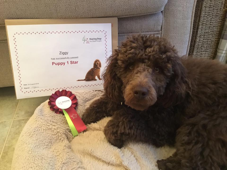 Ziggy passed the first stage of his hearing dog training