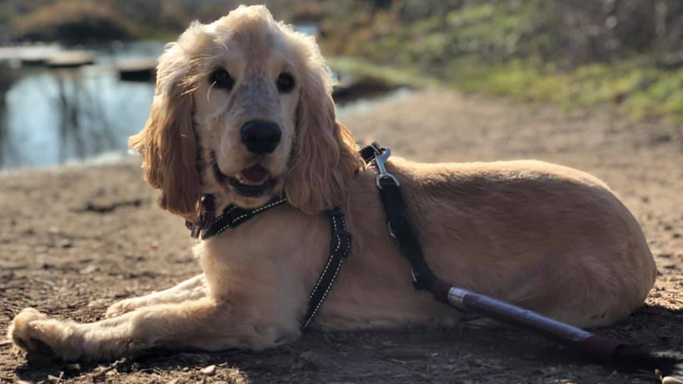 Hearing dog puppy River enjoying the sunshine at Bricket Wood