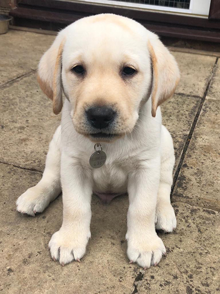 Yellow Labrador puppy Kooper has started his hearing dog training