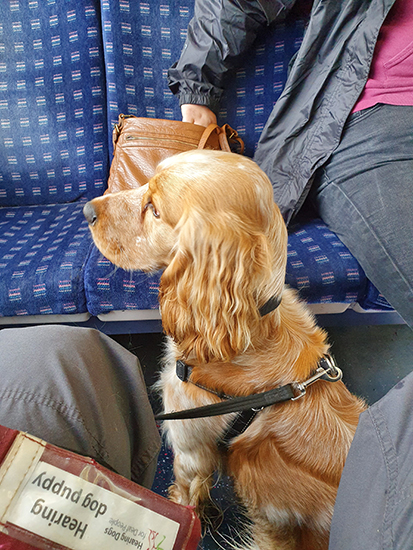 Hearing dog puppy Oshi on the train