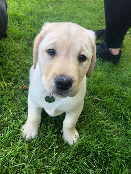 Yellow Labrador Dixon joined team Hearing Dogs