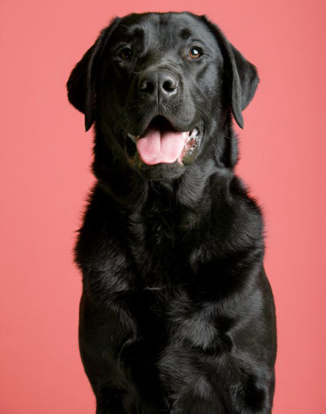 Black Labrador Viking