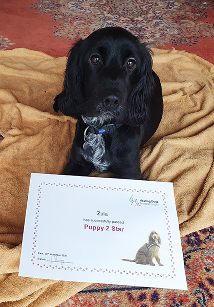 Cocker spaniel Zula poses with her certificate for passing the second stage of hearing dog training