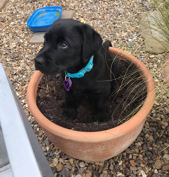 Hearing dog puppy George sitting in a flower pot
