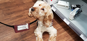 Cocker spaniel settling beautifully in a shop