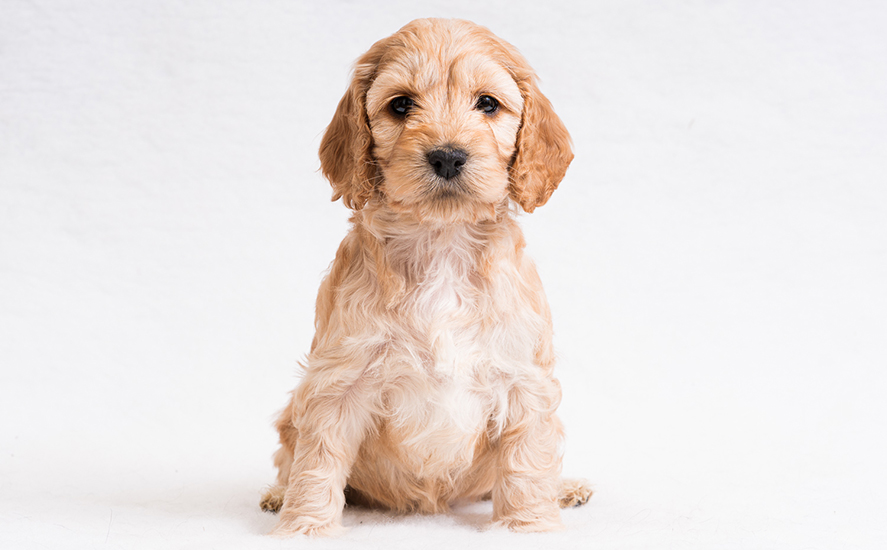 Cockapoo Daisy has started her hearing dog training