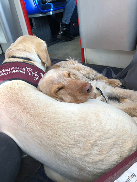Yellow Labrador Kookie and cocker spaniel Lily on the train