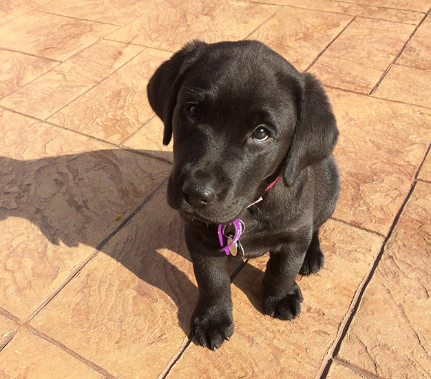 Black Labrador puppy Wish demonstrating a perfect sit