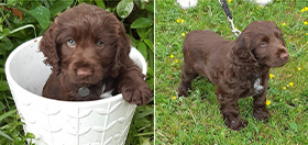 Cocker spaniel puppy Decker has just started his hearing dog training