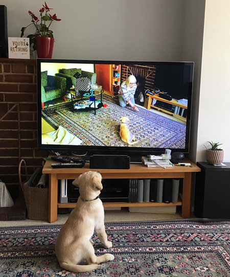 Yellow Labrador Biscuit watches himself on TV