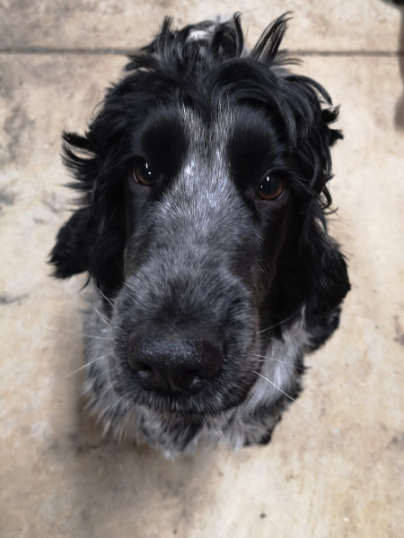 cocker-spaniel-herbie.jpg